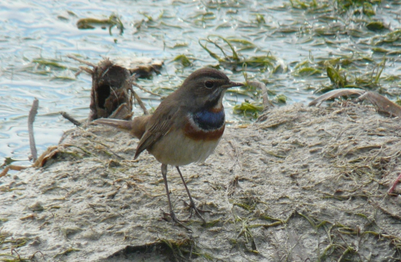 Bluethroat  Copyright Cyprus Birding Tours