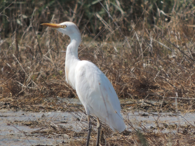 Cattle Egret Petounta 14th August Copyright Cyprus Birding Tours