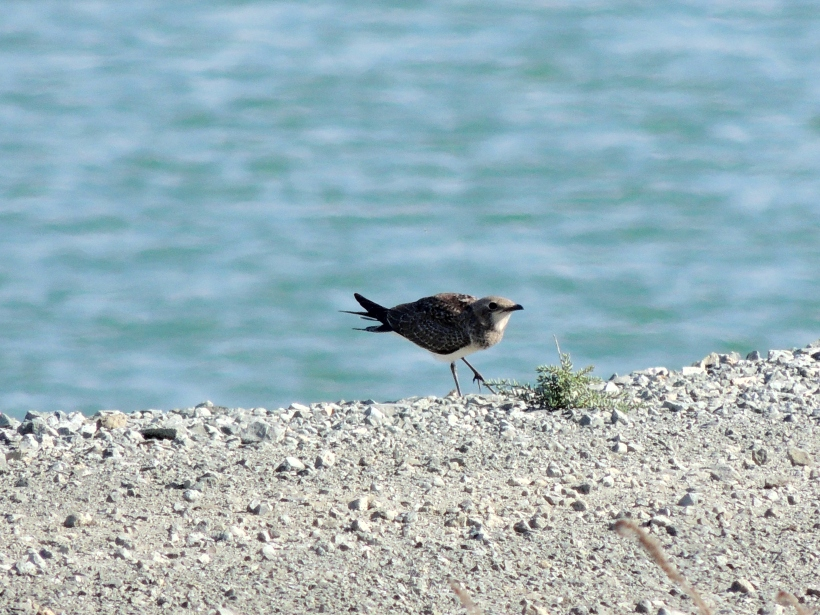 Young Collared Pratincole Larnaca Sewage Pools 28th September Copyright Cyprus Birding Tours