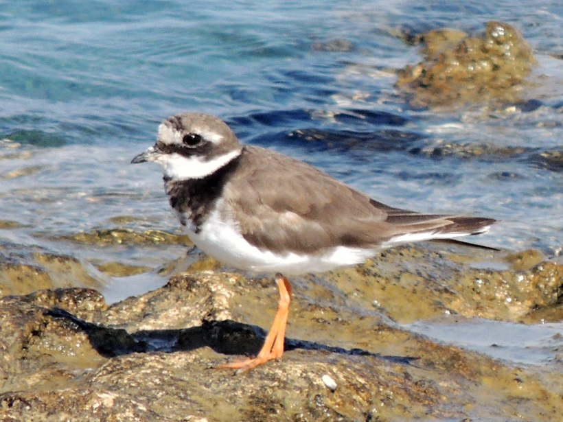 Common Ringed Plover Larnaca Airport Coast September 28th Copyright Cyprus Birding Tours