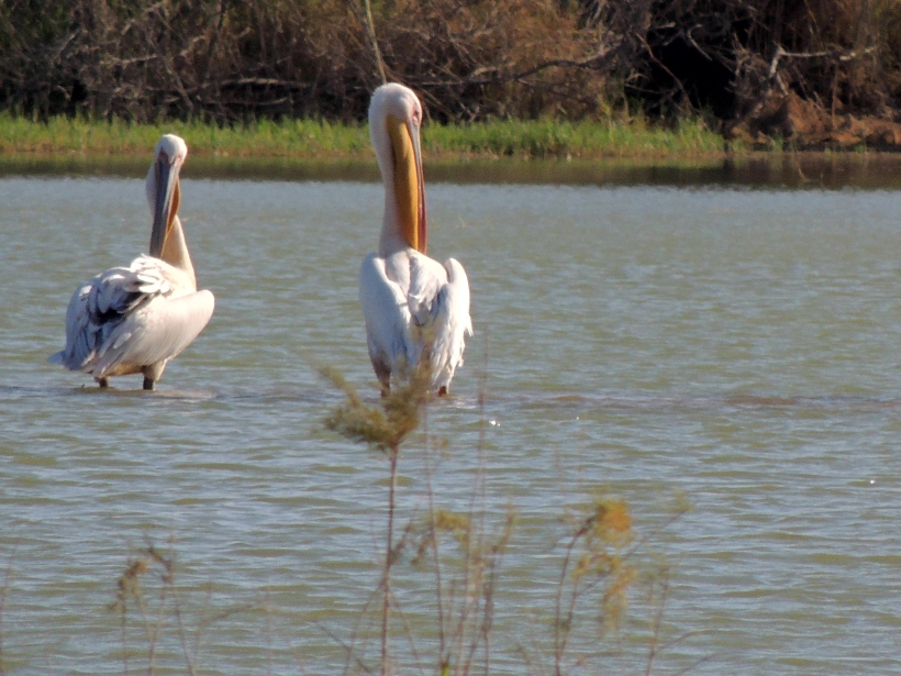 Great White Pelican Akhna Dam September 16th 2013 Copyright Cyprus Birding Tours