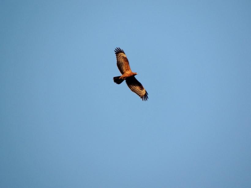 Honey Buzzard Asprokremmos Dam September 23rd. Copyright Cyprus Birding Tours