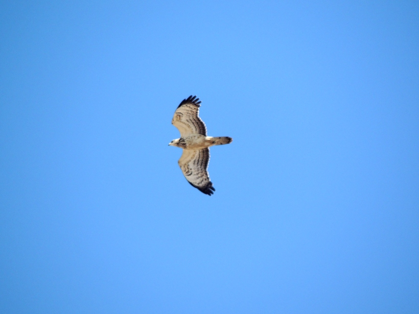 Honey Buzzard Cape Greco September 25th. Copyright Cyprus Birding Tours