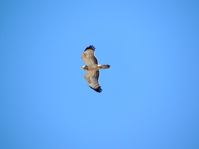 Honey Buzzard Cape Greco September 25th. Copyright Cyprus Birding Tours