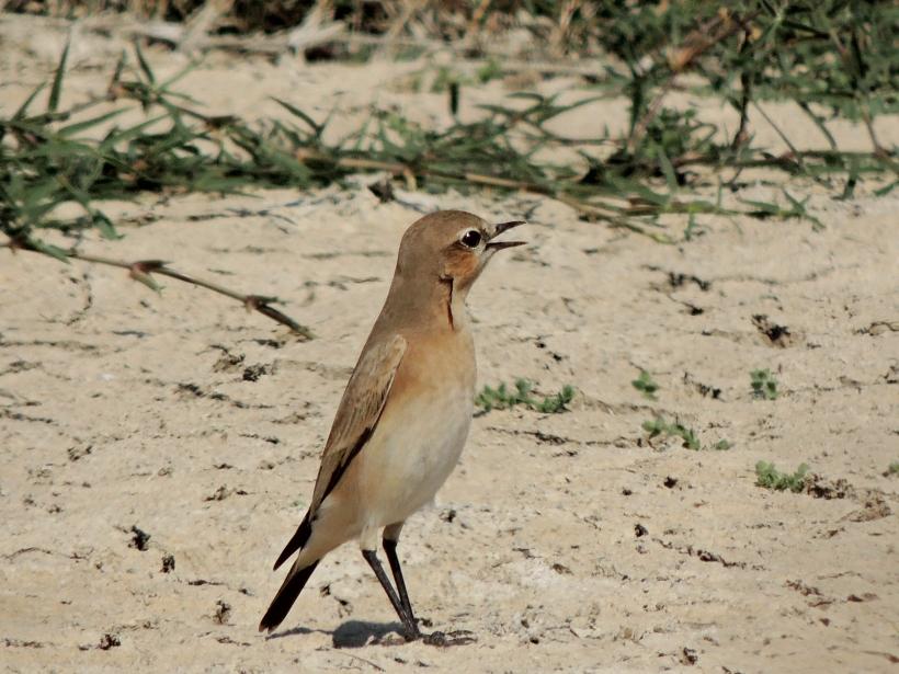 Isabelline Wheatear Petounta Point 14th August Copyright Cyprus Birding Tours