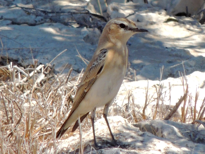 sabelline Wheatear Cape Greco September 12th Copyright Cyprus Birding Tours