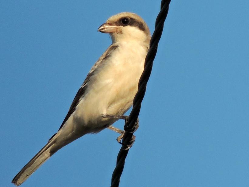 Lesser Grey Shrike Paphos Sewage Works September 3rd Copyright Cyprus Bird Tours
