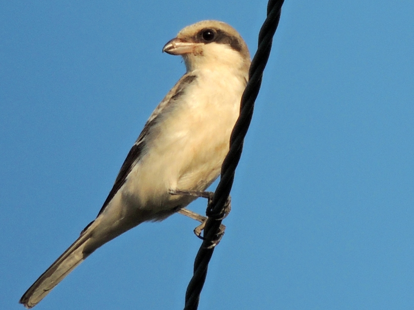 Lesser Grey Shrike Paphos Sewage Works September 3rd Copyright Cyprus Bird Tours