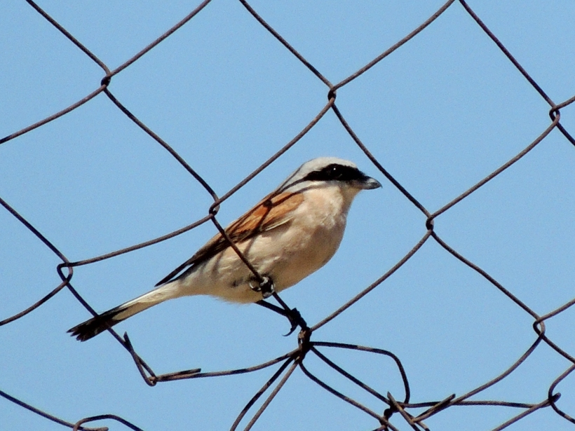 Red-backed Shrike Agia Napa Football Fields September 5th Copyright Cyprus Bird Tours
