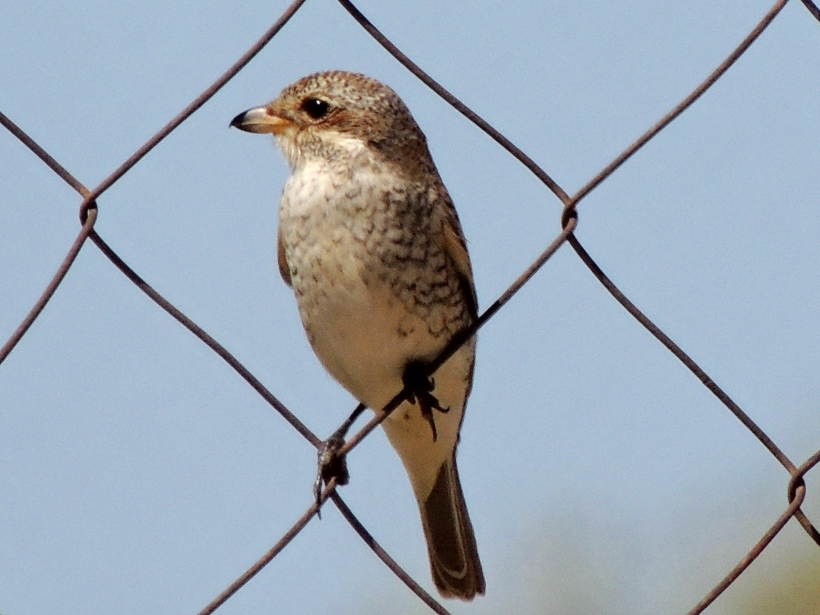 Red-backed Shrike juvenile Agia Napa Football Fields September 12th Copyright Cyprus Birding Tours