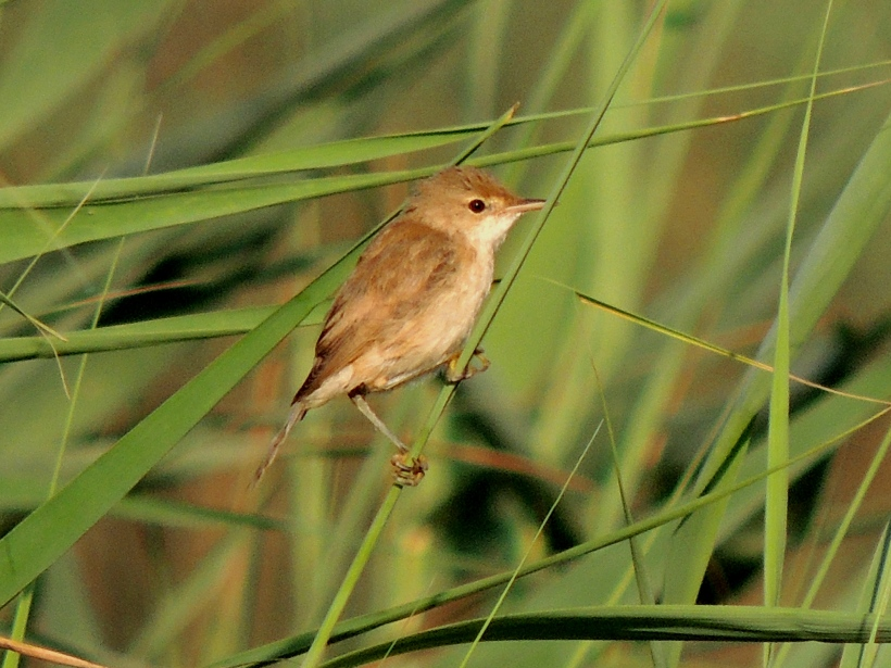 Reed Warbler Phassouri August 2nd 2013 copyright Cyprus Bird Tours