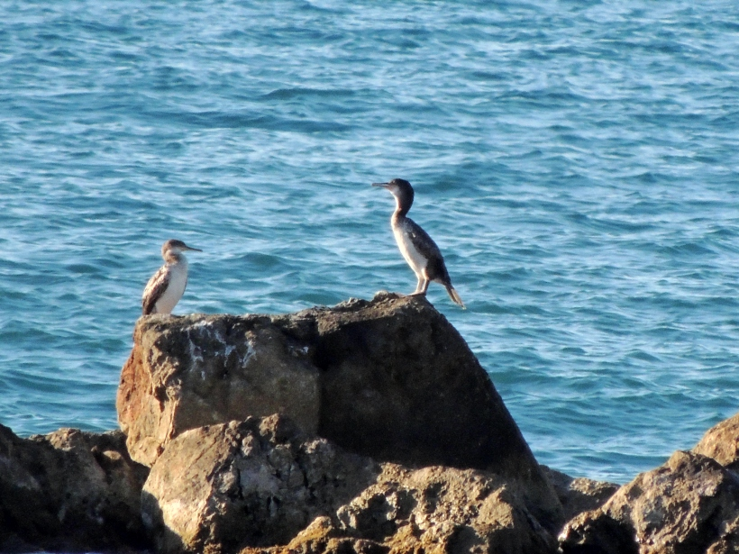 Juvenile Shag Latchi September 7th Copyright Cyprus Birding Tours