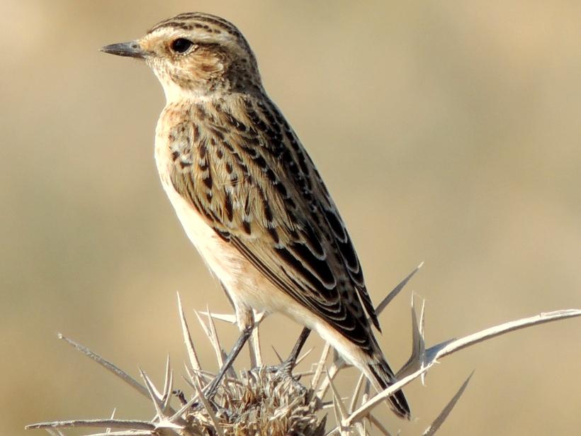 Whinchat Larnaca Salt Lake September 21st 2013 Copyright Cyprus Birding Tours