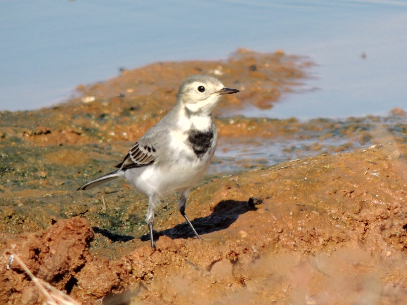 White Wagtail Spiro's Beach September 28th Copyright Cyprus Birding Tours