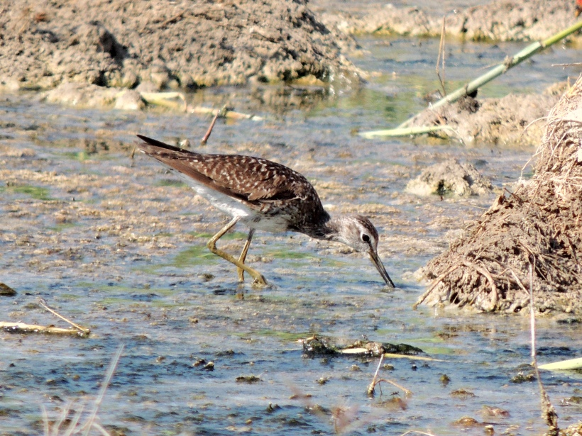 Wood Sandpiper Petounta Point August 14th Copyright Cyprus Birding Tours