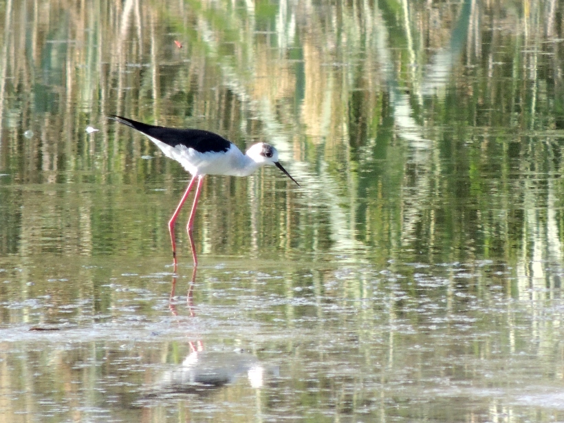 Black-winged Stilt Athalassa Park 23rd October 2013 Copyright Cyprus Birding Tours