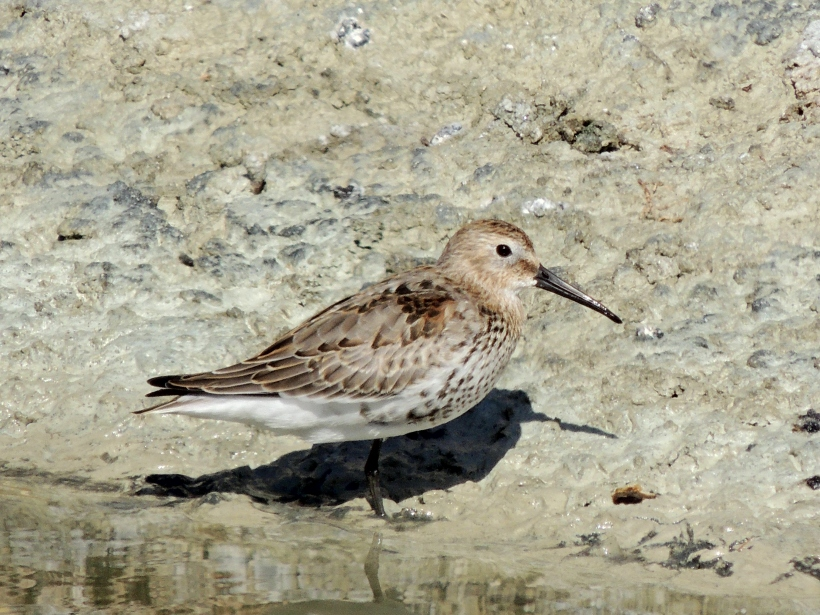 Dunlin Oroklini Marsh October 17th 2013 Copyright Cyprus Birding Tours