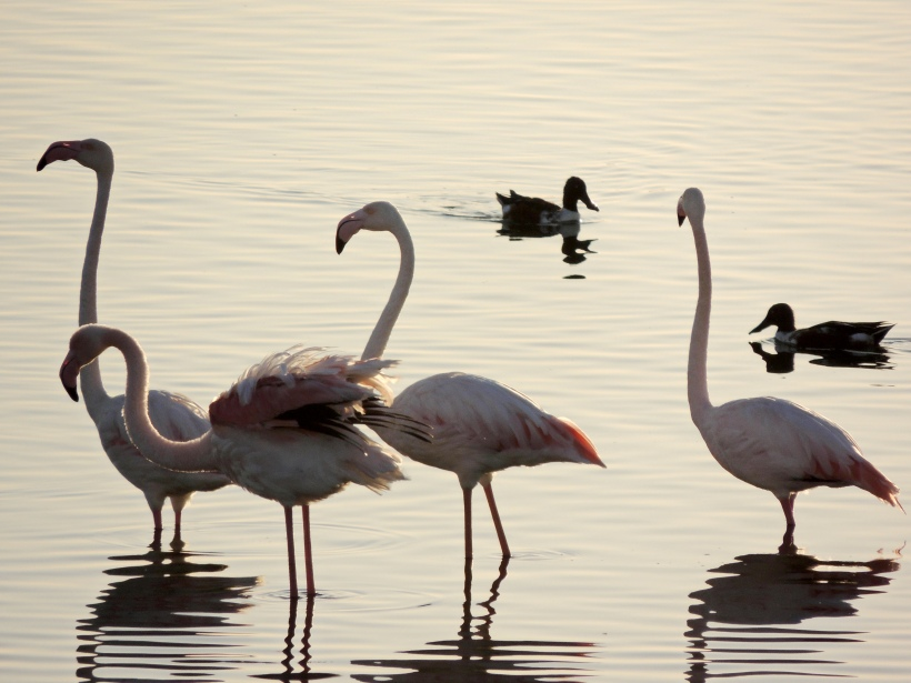 Greater Flamingo Larnaca Sewage Works October 28th 2013 Copyright Cyprus Birding Tours