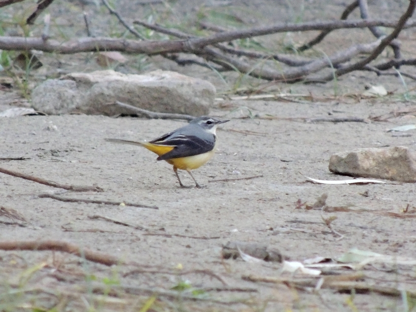 Grey Wagtail Athalassa 23rd October 2013 Copyright Cyprus Birding Tours