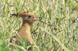 Hoopoe Paphos Sewage Works Copyright Terry Bone