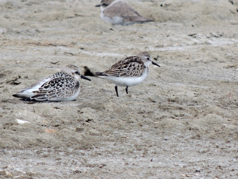 Sanderling and Little Stint Spiro's Pool 5th October 2013 Copyright Cyprus Birding Tours