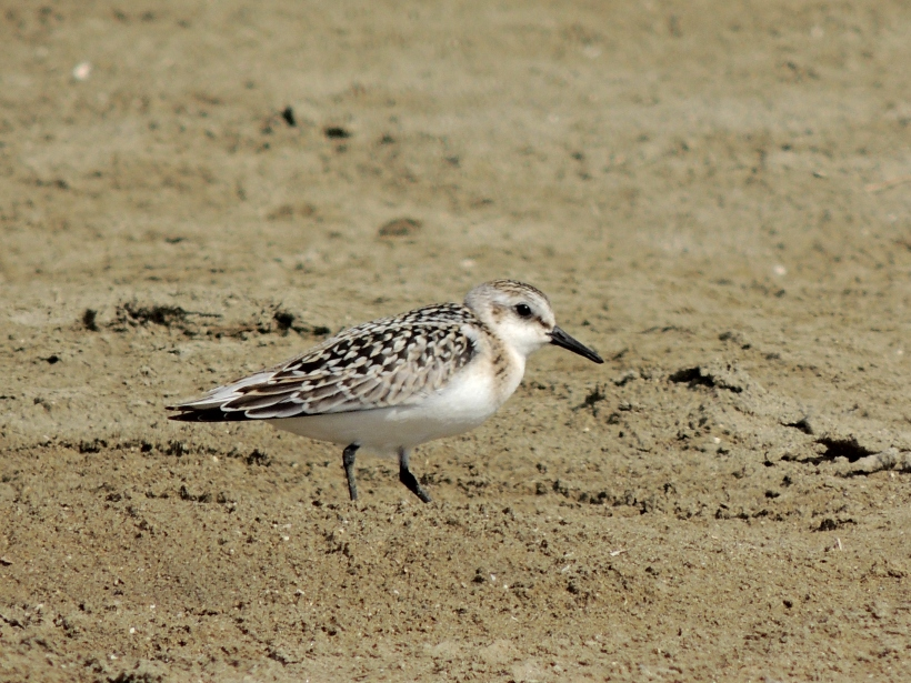 Sanderling Spiro's Beach 5th October 2013 Copyright Cyprus Birding Tours
