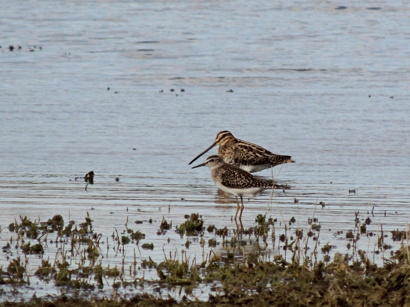 Wood Sandpiper and Common Snipe Akhna Dam 3rd October 2013 Copyright Cyprus Birding Tours