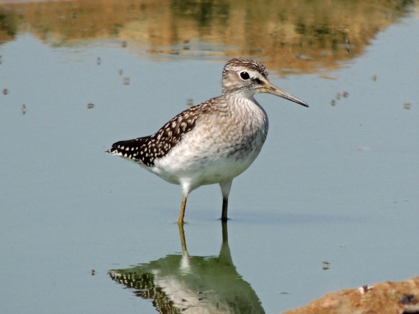 Wood Sandpiper Spiro's Pool October 1st 2013 Copyright Cyprus Birding Tours