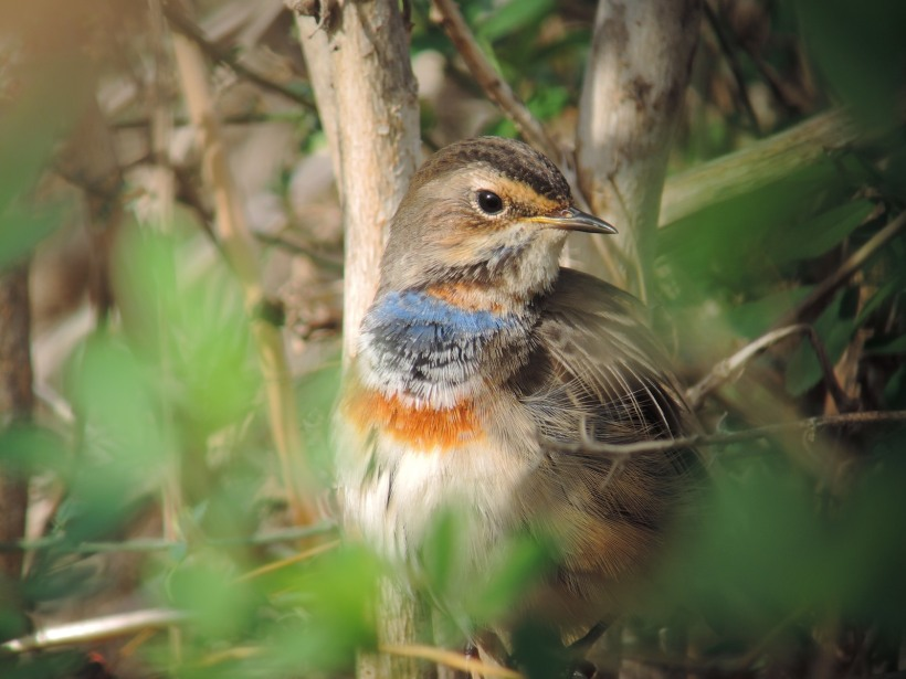 Bluethroat, Paphos Sewage Works (c) Dr Martin Perrow