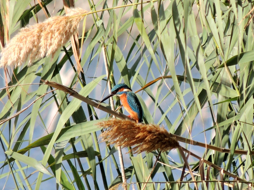 Common Kingfisher Athalassa Park 30th November 2013.  (c) Cyprus Birding Tours