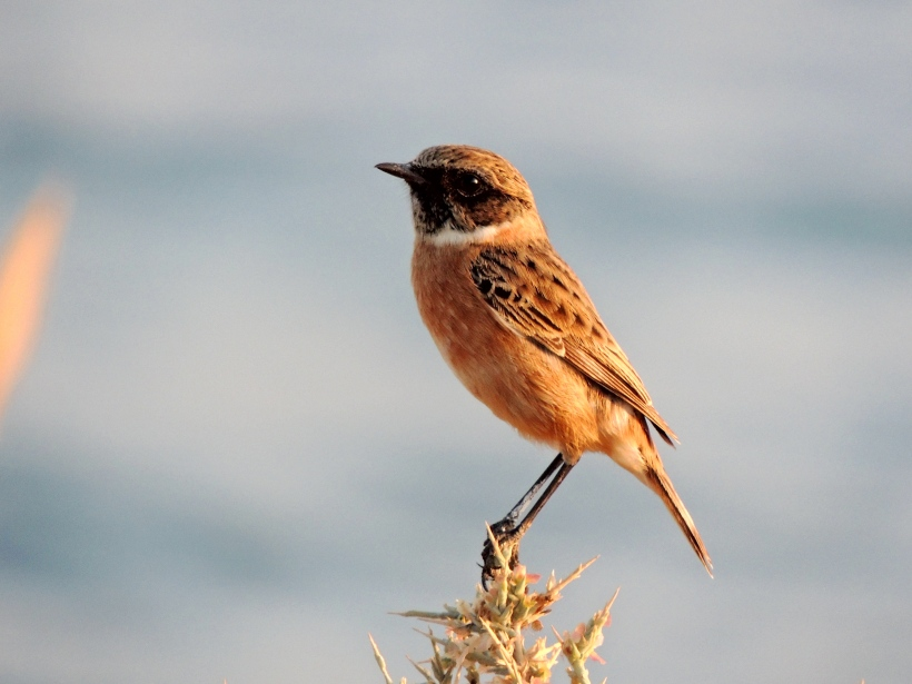 Common Stonechat Mandria 15th November 2013