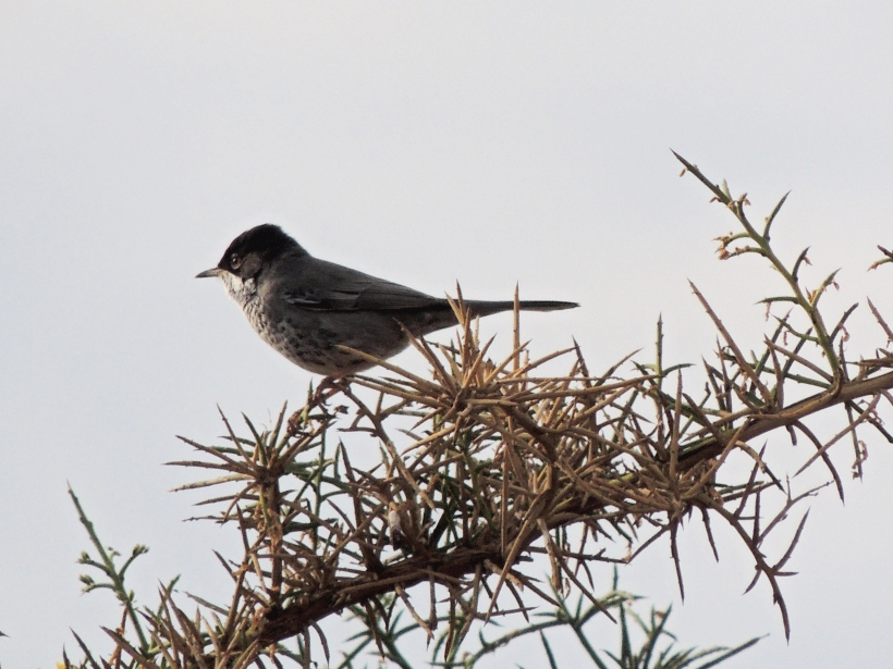 Cyprus Warbler Asprokremmos Dam 8th November 2013 (c) Cyprus Birding Tours