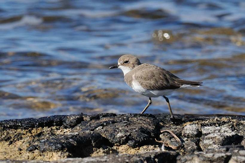 Greater Sand Plover Paphos Headland 29th October 2013 Copyright Brian Harrison