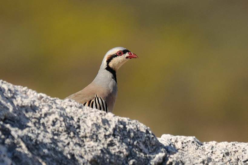 Chukar Anarita Park 29th October 2013 Copyright B Harrison