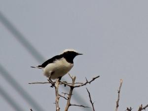 Finsch's Wheatear  Agios Sozomenos November 23rd 2013  (c) Cyprus Birding Tours