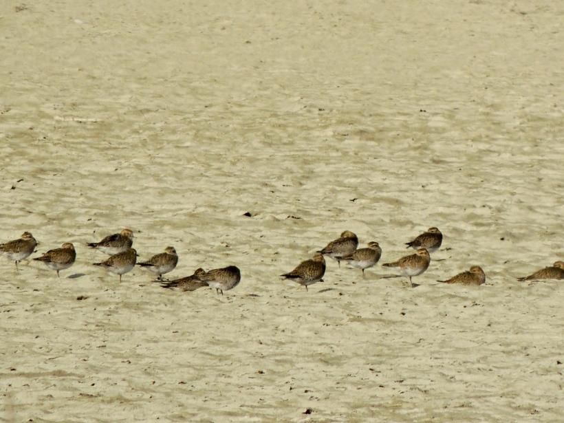Golden Plover Spiro's Pool 18th November 2013 (c) Cyprus Birding Tours