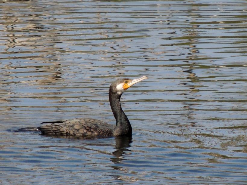 Great Cormorant Athalassa Dam November 30th 2013 (c) Cyprus Birding Tours