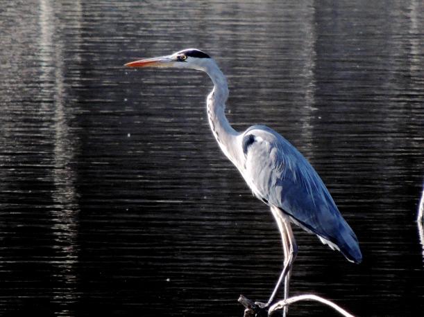 Grey Heron Athalassa  November 30th 2013 (c) Cyprus Birding Tours