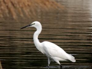 Little Egret Athalassa November 23rd 2013 (c) Cyprus Birding Tours