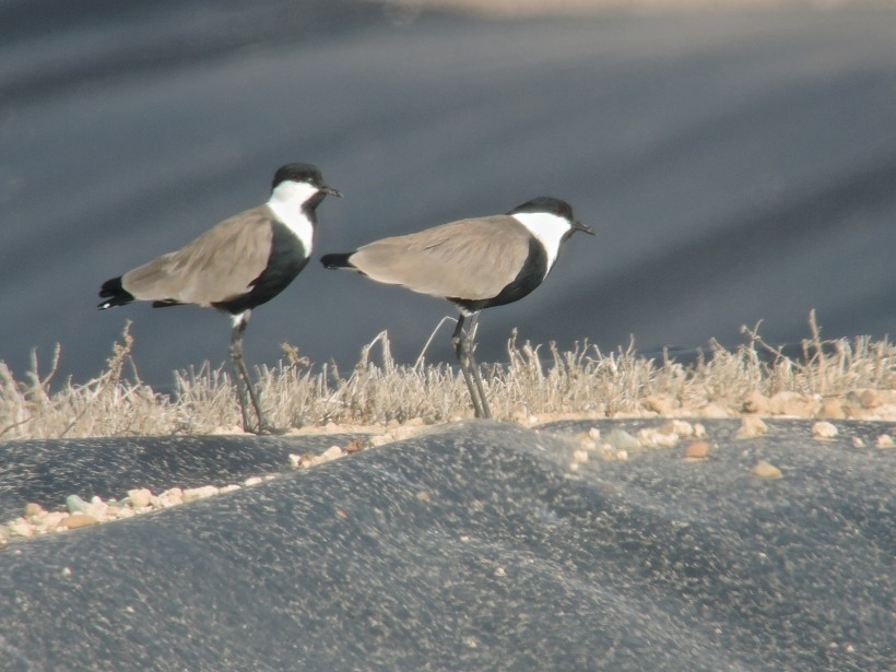 Spur-winged Lapwing Paphos Sewage Plant (c) Dr Martin Perrow