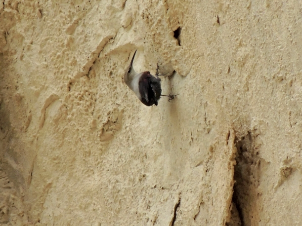 Wallcreeper Avgas Gorge November 8th (c) Cyprus Birding Tours