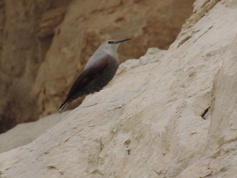 Wallcreeper Avagas Gorge (c) Dr Martin Perrow