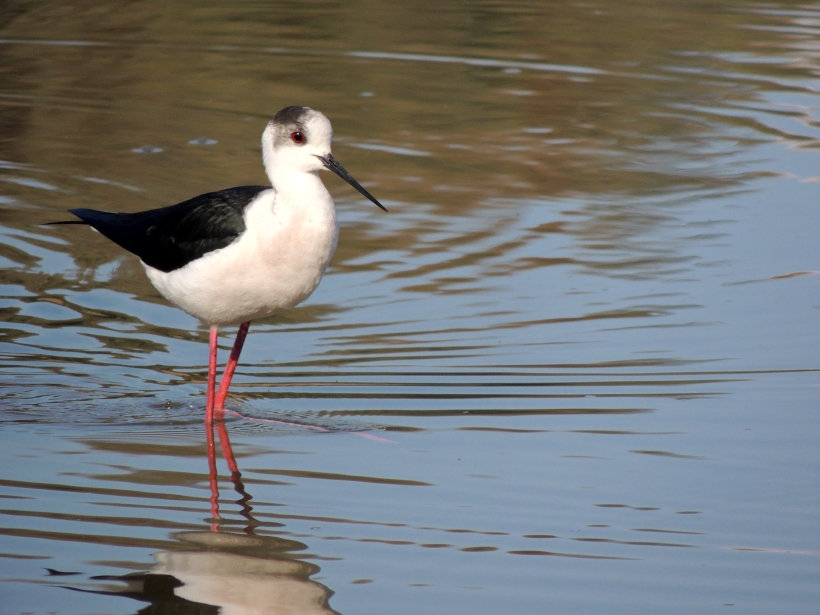 Black-winged Stilt Athalassa Park 1st January 2014 (c) Cyprus Birding Tours