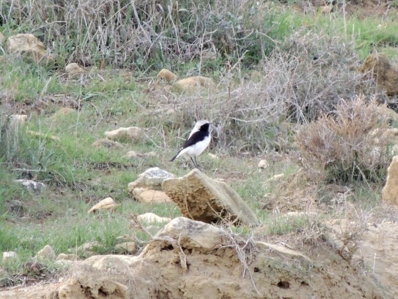 Finsch's Wheatear Agios Sozomenos January 1st 2014 (c) Cyprus Birding Tours