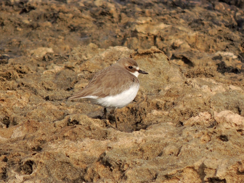 Greater Sand Plover Agia Trias January 4th 2014 (c) Cyprus Birding Tours