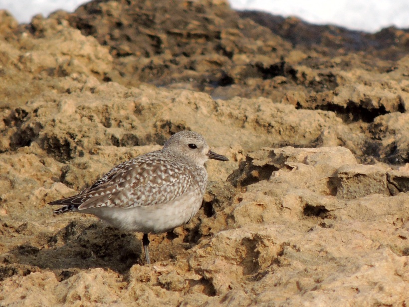 Grey Plover Agia Trias January 4th 2014 (c) Cyprus Birding Tours