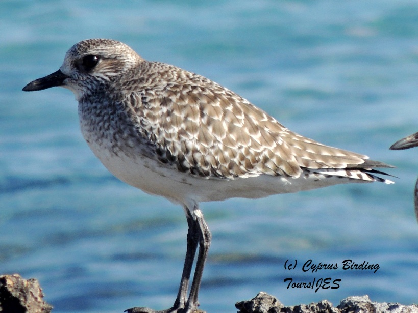 Grey Plover Agias Trias January 29th 2014 (c) Cyprus Birding Tours