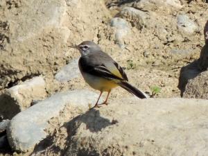 Grey Wagtail Finikaria January 7th 2014 (c) Cyprus Birding Tours