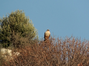 Long-legged Buzzard, Finikaria, 22nd January 2014 (c) Cyprus Birding Tours
