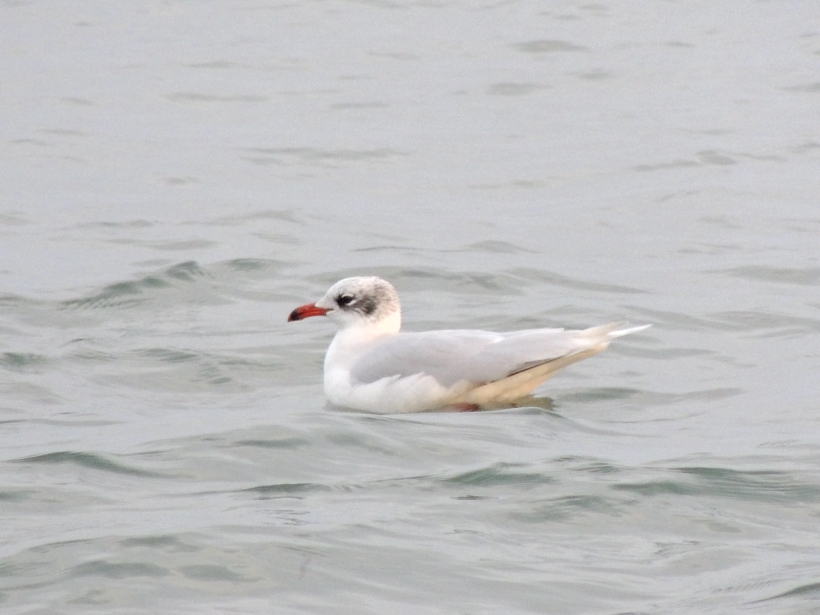 Mediterranean Gull Oroklini Beach 4th January 2014 (c) Cyprus Birding Tours